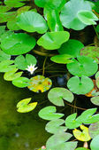 Nymphaea leaves — Stock Photo
