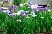 Japanese iris — Stock Photo