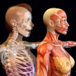 Body Worlds — Stock Photo #5659676
