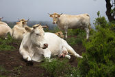 Cattle on a mountain — Stock Photo