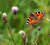 Schmetterling Kleiner Fuchs auf einer distel — Stock Photo