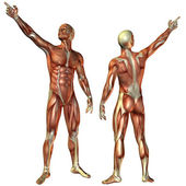 Muscle man from the front and rear structure — Stock Photo
