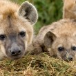 Hyena cubs in Masai Mara — Stock Photo