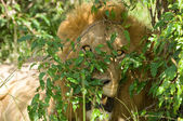 Lion in bushes close up — Stock Photo