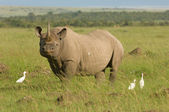 White rhino in Masai mara Kenya — Stock Photo