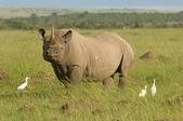 White rhino in Masai mara Kenya — Stock Photo