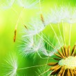 Dandelion — Stock Photo #5830610