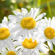 Charming camomile - Stock Photo
