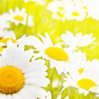 Charming camomile — Stock Photo #6015540