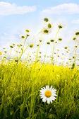 Camomiles on a meadow — Stock Photo