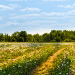 Stock Photo: Field with yellow dandelions and road