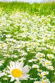 Sevimli camomiles — Stok fotoğraf