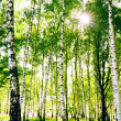 Forest birch — Stock Photo #6457456