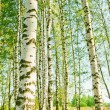 Forest birch — Stock Photo #6736532