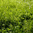 Closeup of blades of grass on lawn — Stock Photo