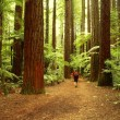 Redwoods - Photo