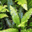 Closeup of fern leaves in tropical forest - Stock Photo