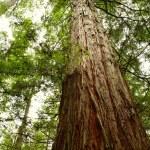 Redwood — Stock Photo #5977335