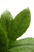 Water drops on leaves. Plain background — Stock Photo