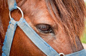 Closeup of horses eye and bridle — Stock Photo