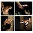 Collection of tree frog — Stock Photo