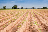 Casava early growth in the field by the countryside,Nakhonratcha — Stock Photo