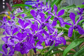 Thai orchid from agriculture fair,Nakhonratchasima,Thailand — Stock Photo
