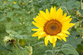 """Sunflowers or """"Helianthus annuus"""" an annual blossom in a field — Stock Photo"""