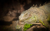 Young rhinocerus iguana — Stock Photo