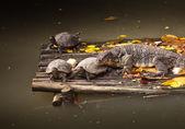 Banded monitor lizard (varanus salvator) — Stock Photo