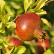 Pomegranate on a tree branch - Stock Photo