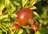 Pomegranate on a tree branch — Stock Photo