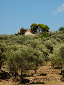 Olive trees and a chapel — Stock Photo