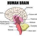 ������, ������: Human Brain