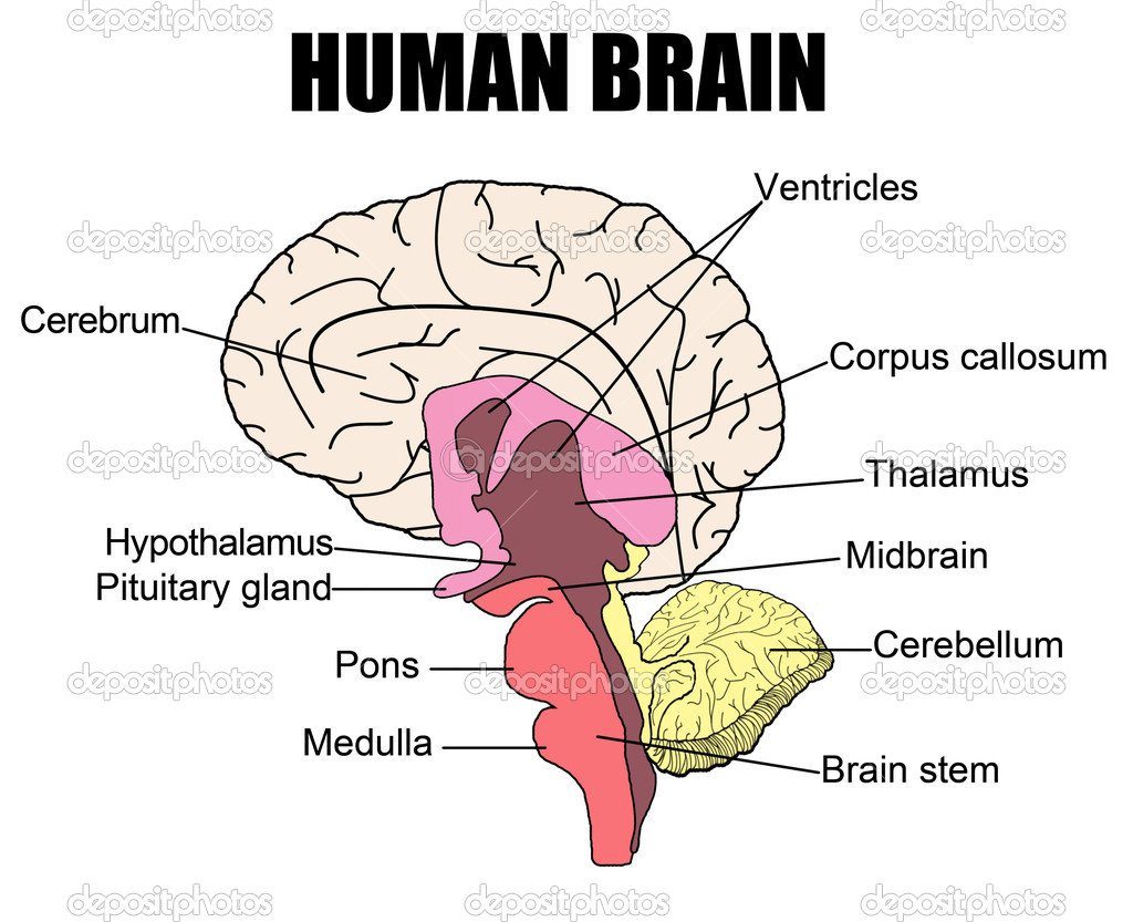 Anatomy of human brain, vector illustration (for basic medical education, for clinics & Schools) — Stock Vector #5383433