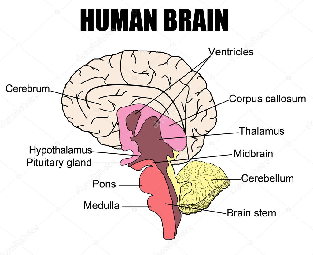human brain stock vector  u00a9 roxanabalint 5383433 brain vector image brain vector icon