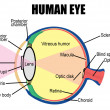 Human eye — Stock Vector