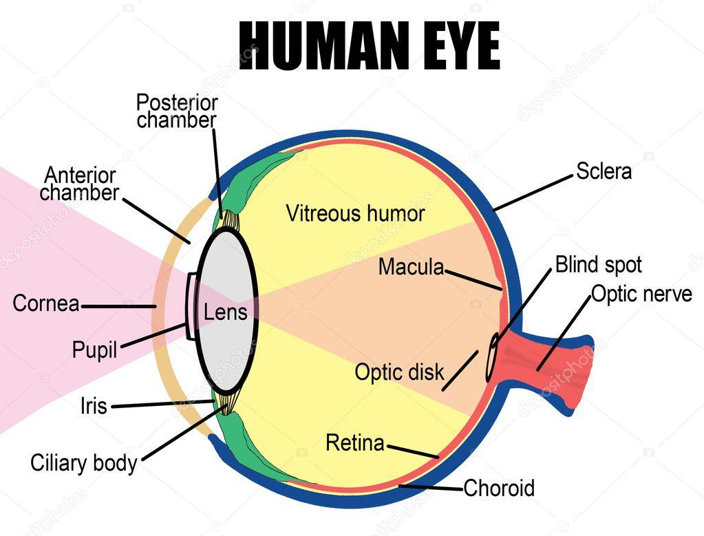 Eyes Anatomy Drawing Anatomy of Human Eye