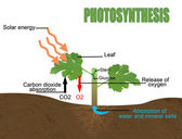 Photosynthesis, vector illustration (Helpful for Education & Schools) — Vector de stock