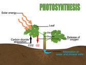 Fotosíntesis, ilustración vectorial (útil para educación & escuelas) — Vector de stock