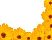Calendula flower — Stock Photo