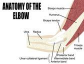 Anatomy of the elbow — Stock Vector
