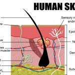 Human skin — Stock Vector #5579837