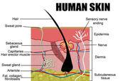 Human skin — Stock Vector