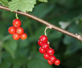 Red currant — Foto Stock