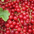 Red currant background - 图库照片