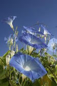 Blue morning glories — Stock Photo