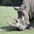 Rhinoceros — Stock Photo #5486794