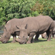 Stock Photo: Rhinoceros