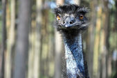 Ostrich — Stock Photo